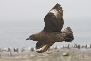 Antarctica, South Shetland Islands. Brown skua soars over a penguin colony looking