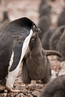 Antarctica, South Shetland Islands. A brown down-covered Adelie penguin chick begging