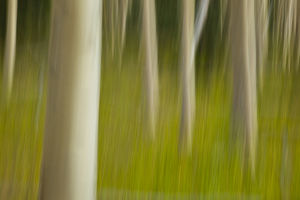 usa/new mexico/artistic blur image aspen trees