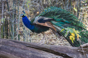Asia. India. Peacock (Pavo cristatus) on display at Bandahavgarh Tiger Reserve