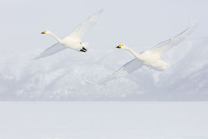 Asia, Japan, Hokkaido, Lake Kussharo, Two Whooper Swans Flying