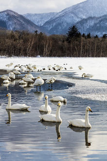 Asia, Japan, Hokkaido, Lake Kussharo, Whooper Swans Swimming in the Lake