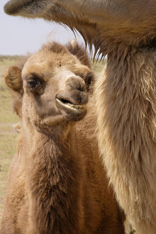Asia, Mongolia, Western Mongolia, Lake Tolbo, Bactrian camels (Camelus bactrianus)