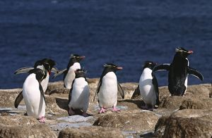 Atlantic Ocean, Falkland Islands. Rockhopper Penguins (Eudyptes chrysocome)
