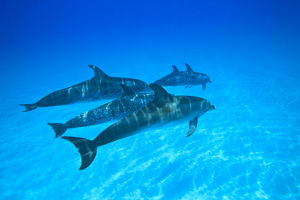 Atlantic Spotted Dolphins (Stenella frontalis), White Sand Ridge, Bahamas, Caribbean
