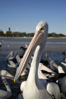 Australian Pelicans (Pelecanus conspicillatus), at The Entrance, New South Wales