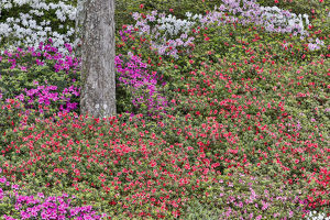 usa/south carolina/azeleas bloom middleton place charleston south