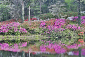 usa/south carolina/azeleas bloom reflected calm pond middleton place