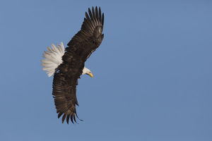 animals/bald eagle flying
