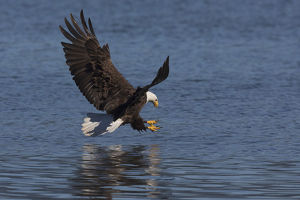 animals/bald eagle going prey