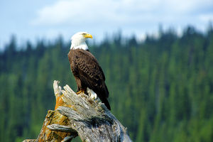 A bald eagle (Haliaeetus leucocephalus perching on a dead tree scans the marsh of