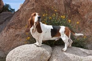 A Basset Hound standing on boulders at Joshua Tree National Park in California