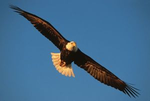 bird prey bald eagle flight kachemak bay homer