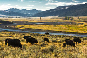 bison herd, feeding, Lamar River, Lamar Valley, Yellowstone National Park, Wyoming, USA