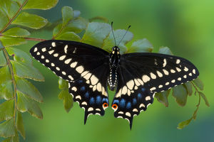 Black Swallowtail Butterfly, Papilio polyxenes