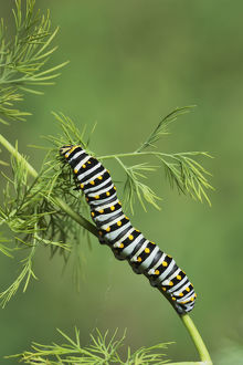 Black Swallowtail (Papilio polyxenes), caterpillar eating on fennel host plant (Foeniculum