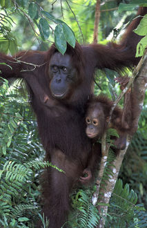 Borneo, Tanjung National Park Orang-utan (Pongo Pygmaeus) mother in tree with baby