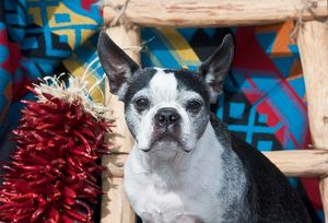 A Boston Terrier sitting in a Southwest background