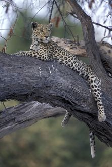 Botswana, Moremi Game Reserve, Adult Female Leopard (Panthera pardus) rests on tree
