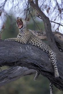 Botswana, Moremi Game Reserve, Adult Female Leopard (Panthera pardus) yawns while