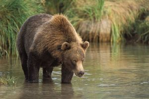 brown bear, Ursus