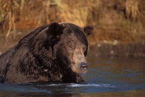 brown bear, Ursus arctos, grizzly bear, Ursus horribils, fishing for pink salmon