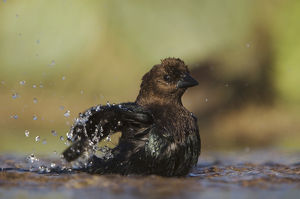 Brown-headed Cowbird, Molothrus ater, male bathing, Uvalde County, Hill Country, Texas