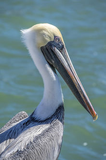 Brown Pelican, Intracoastal waterway, Florida, USA