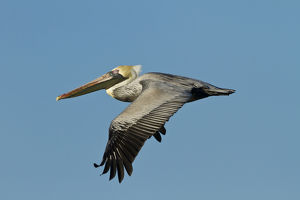 Brown Pelican (Pelecanus occidentalis) adult in flight, Texas coast