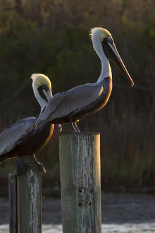 Brown Pelican (Pelecanus occidentalis) adults sunning on pilings in Aransas Bay, Texas