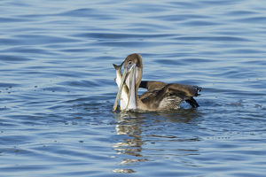 Brown Pelican (Pelecanus occidentalis) juvenile eating mullet in Laguna Madre, Texas