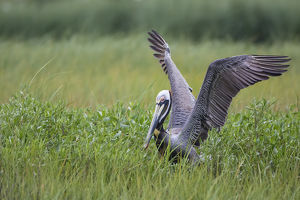 Brown Pelican (Pelecanus occidentalis) nesting