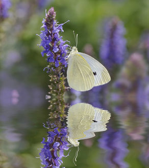 usa/kentucky/cabbage white butterfly reflection pieris rapae