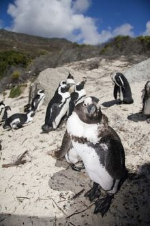Cape Town, South Africa. A large colony of penguins on the Cape Peninsula