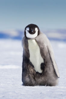 Cape Washington; Antarctica. Emporer penguin chick with down coat walking alone