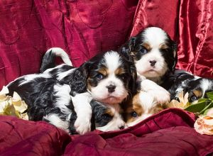 Five Cavalier King Charles Spaniel puppies in a pile with red fabric background