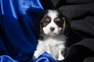 A Cavalier King Charles Spaniel puppy sitting with blue and black background