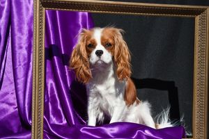 A Cavalier King Charles Spaniel sitting in a gold frame with a purple and black background