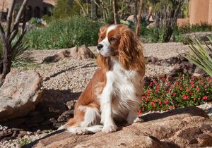 A Cavalier King Charles Spaniel sitting on a rock in a garden with wind blowing