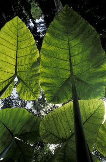 Central America, Guatemala, Tikal giant jungle leaves