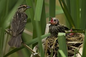 Central PA, USA,Red-winged Blackbird, Agelaius phoeniceus, mother with fledglings at nest