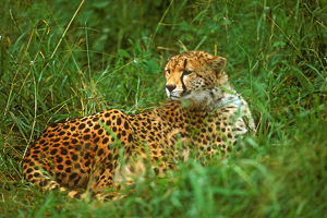 Cheetah (Acinonyx venator) Laying in Grass on the Serengeti