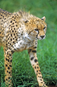 Cheetah (Acinonyx venator)Stalking on the Serengeti