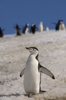 chinstrap penguin, Pygoscelis antarctica, on a glacial ice cap, western Antarctic