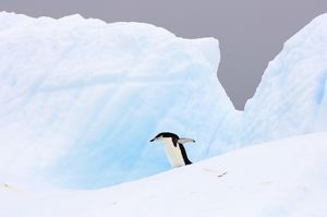 chinstrap penguin, Pygoscelis antarctica, walking on glacial ice off the western