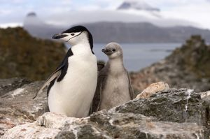 chinstrap penguin, Pygoscelis antarctica, with chick, South Shetland Islands, Antarctica