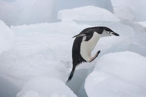 Chinstrap Penguin (Pygoscelis antarcticus) jumping on ice, South Orkney Islands