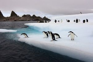 chinstrap penguins, Pygoscelis antarctica, jumping off an iceberg along the South