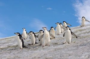 chinstrap penguins, Pygoscelis antarctica, walking down a glacial ice cap from their