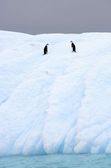 chinstrap penguins, Pygoscelis antarctica, on glacial ice off the western Antarctic